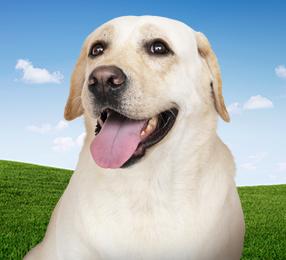 A Labrador Retriever dog against a background of blue sky and grassy hills