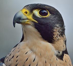 Peregrine Fund Live Bird Visit